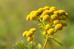 Final summer yellow (devos.ch312) Tags: plants flowers herb boerenwormkruid tansy tanacetumvulgare christinedevos