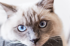 Eyes (lachybartholomew) Tags: cat kitten cute indoors rest couch sleepy tired relaxing relax ragdoll eyes blueeyes face