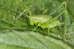 Green is the colour (DavidHowarthUK) Tags: woodland colchester essex july 2016 speckledbushcricket leptophyespunctatissima