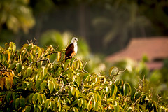 On top (malc1702) Tags: brahminykite kite birds largebirds wildlife nature outdoor bokeh nikond7100 tamron150600 animals sunlight indianbirds asianbirds birdsofprey colorsinourworld flickrunitedaward