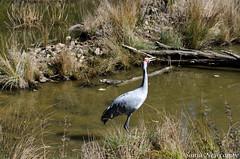 _SLN9746 (sonja.newcombe) Tags: tid tidbinbilla australia canberra wildlife brolga birds bird nikon d7000 sigmalens