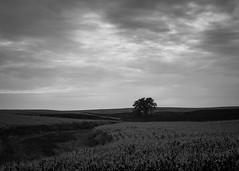 Lonely Tree (jr19) Tags: olympus omd em10 panasonic 20mm landscape field farm tree sky bw clouds