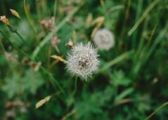 Tundra dreams (thesecretpolaroid) Tags: 35mm canon 6d canon6d 35mm14 vsco vscofilm plants macro flowers alaska unalaska dutchharbor explore flickr flickrexplored bokeh dof depthoffield