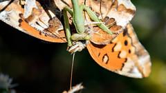 Mantis (J_W_C) Tags: butterfly mantis macro closeup combat insects sunny prayingmantis