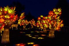 Maple forest (begineerphotos) Tags: illuminasia lantern lanternsfestival lanternfestival calgary calgaryzoo zoo maple mapletree tree trees mapleleaf mapleleaves