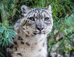 The Gray Ghost (montusurf) Tags: snow leopard spot mountain face portrait gray ghost hogle zoo utah