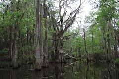 Slidell - Dead Swamp Tree (Drriss & Marrionn) Tags: neworleans neworleansla neworleanscitytrip louisiana outdoor swamp river boattrip oldpearlriver slidell serene plant tree landscape forest