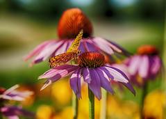 160810_088 A visitor on the coneflower (MiFleur...Thank You for 2 Million Views) Tags: flowers fleur nature colors colours couleurs colores flora flore
