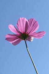 L1320175 (BS-Foto) Tags: leica vlux1 bsfoto sky himmel ciel blue bleu blau cosmea pink rosa ros