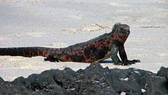 marine iguana on beach at gardner bay - espaola island, galpagos 6 (Russell Scott Images) Tags: colourful marineiguanaamblyrhynchuscristatussspvenustissimus beach espaolaisland islaespaola hoodisland galpagos equator gardnerbay sand