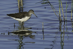 Green sandpiper 2016-08-27_04 [Explored 2016-09-20] (Jan Thomas Landgren) Tags: birds bird aves animal animals avifauna fglar fgel fauna djur gettern getternnaturereserve sony sweden sverige sonyilca77m2 sonya77mark2 sonya77ii tamron tamron150600mm natur nature wildlife wetland wetlands halland outdoor waders wader vadare shorebird sandpiper greensandpiper tringaochropus skogssnppa tringa