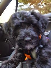 Let's Go! (crisp4dogs) Tags: gabby pwd portuguesewaterdog crisp4dogs puppy ride