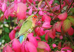 To Have Joy, One must Share It! (bigbrowneyez) Tags: pink autumn pet bird fall love nature beautiful leaves season outdoors dof bokeh priceless branches rich joy happiness sharing cutiepie lovebird hotpink supershot burningbushshrub rememberthatmomentlevel1 flickhot