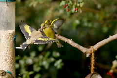 Goldfinch versus Greenfinch (Chris McLoughlin) Tags: fight action goldfinch greenfinch fairburningsrspbreserve sigma150500mm chrismcloughlin sonya77