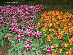 Dutch Tulips, Keukenhof Gardens, Holland - 0779 (HereIsTom) Tags: travel flowers flower holland nature netherlands dutch gardens garden spring europe colours tulips sony cybershot olympus tulip bloom keukenhof tulpen tulp webshots e500 f505