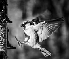 Fly thru (Paul Wallace (NZ)) Tags: bw white black bird fly flying wings flight sparrow through