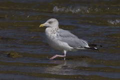 HERRING GULL (nsxbirder) Tags: ohio larusargentatus herringgull harveysburg