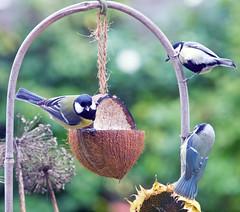Chatroom (schreibtnix on 'n off) Tags: autumn nature birds animals closeup tiere tits herbst natur vögel bluetit parusmajor nahaufnahme paruscaeruleus blaumeise coaltit kohlmeise meisen flickrdiamond olympuse5 schreibtnix