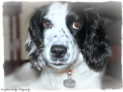 Tess (DaughterSharky Photography) Tags: dog pets dogs animal spaniel sproker