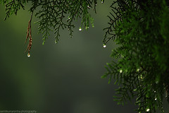 Pearls of Heaven (samitsinha) Tags: samit