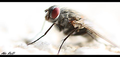 Fly _  (Abo_RaiD) Tags: animal animals fly insects flys