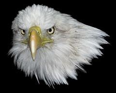 Bald Eagle On Black_RGB6193 (DansPhotoArt) Tags: portrait bird nature fauna nikon eagle wildlife baldeagle d200 americaneagle fisheagle onblack wbs worldbirdsanctuary highqualityanimals