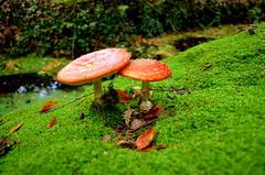 Fungi Mushroom (JaapCom) Tags: autumn green mushroom forest mos mushrooms nikon groen fotografie close natural digitale herfst fungi ups marco van paddenstoel bos veluwe jaap paddestoel gelderland padded wezep ijsselvliedt werven d5100 pedded ijsselvliedtlaan vlegenzwam
