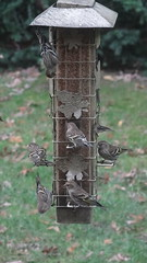Pine Siskin (Rick Wright, Victor Emanuel Nature Tours) Tags: newjersey october finches pinesiskin goldfinches spinus siskins fringillids