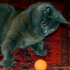 She play a hands ball. (erikomoket) Tags: cats playing paris france female cat grey gris chats nikon chat  douce mycat gentle chatte  tendre chartreux femal chattes doux  d3200   machatte erikomoket