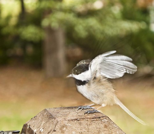 little chickadee all a flutter