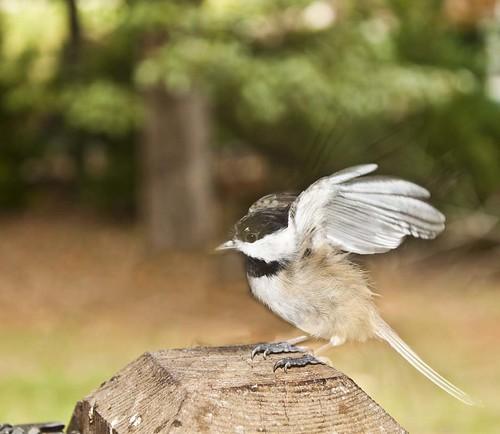 little chickadee all a flutter