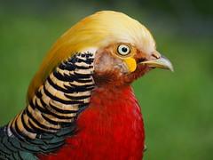 Golden Pheasant (Thomas J. Walsh) Tags: bird colorful bright pheasant colourful bold goldenpheasant chrysolophuspictus altn sln