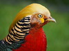 Golden Pheasant (Thomas J. Walsh) Tags: bird colorful bright pheasant colourful bold goldenpheasant chrysolophuspictus altın sülün