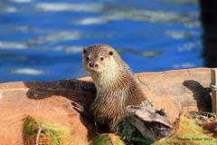 European Otter (Lutra lutra) (SteveRotherPhotography) Tags: nature water animal animals mammal wildlife devon otter otters lutralutra livingcoast europeanotter eurasianotter