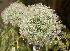 uienbol (White Allium) (cegefoto) Tags: plants plant flower macro d50 nikon nikond50 wit allium bloem sierui