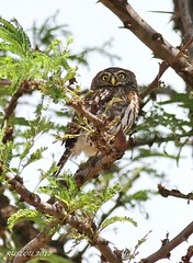 Pearl-spotted Owlet (Glaucidium perlatum) (ruslou (on & off)) Tags: nature southafrica warmbaths glaucidiumperlatum pearlspottedowlet ruslou belabela zwartkloofprivategamereserve witkoluil