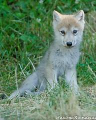 DSC_0019 (Maxime Riendeau) Tags: baby canada quebec young québec loup artic bébé wolves parcomega arctique jeune arcticwolf lourarctique