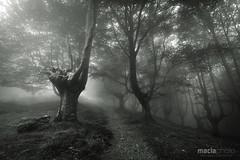 El Bosque Encantado (V) (malomen) Tags: españa mist tree forest arbol spain camino path bosque niebla beech guipuzcoa gipuzkoa hayedo oiartzun oyarzun oianleku