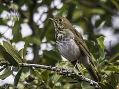 Hermit Thrush (Bob Gunderson) Tags: sanfrancisco california birds northerncalifornia fortmason thrushes hermitthrush catharusguttatus