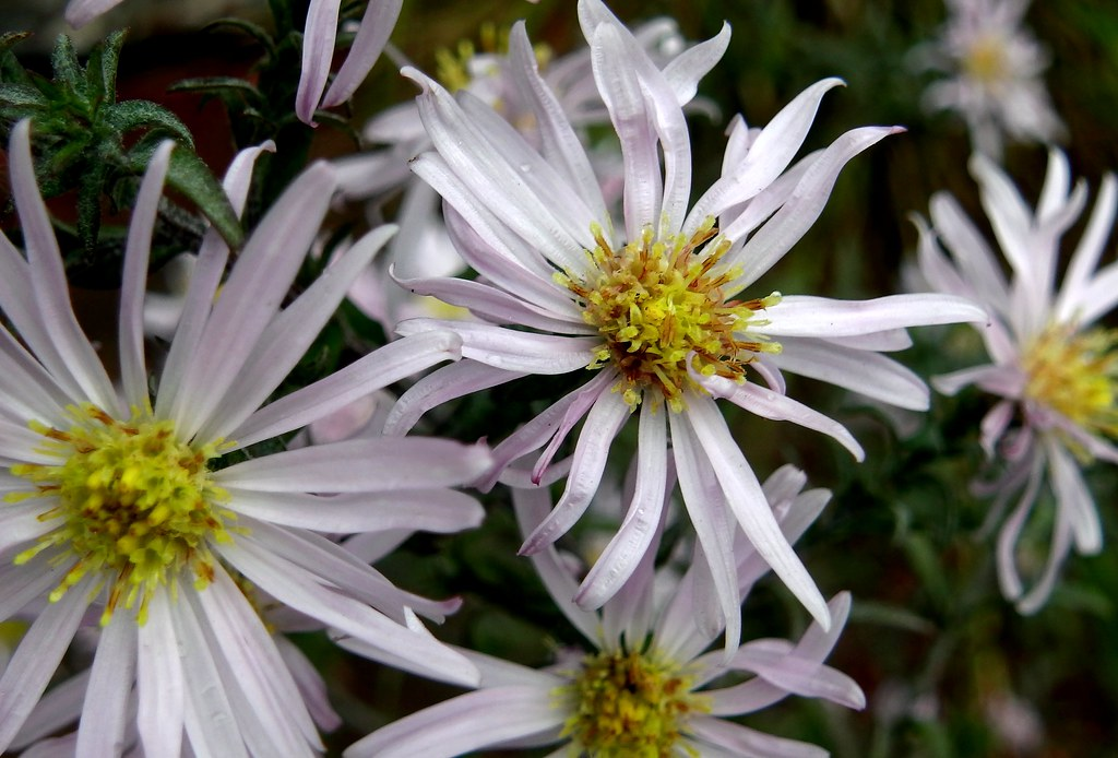 The World S Most Recently Posted Photos Of Aster And Fleur Flickr