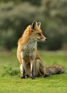 Red fox - taking it easy -