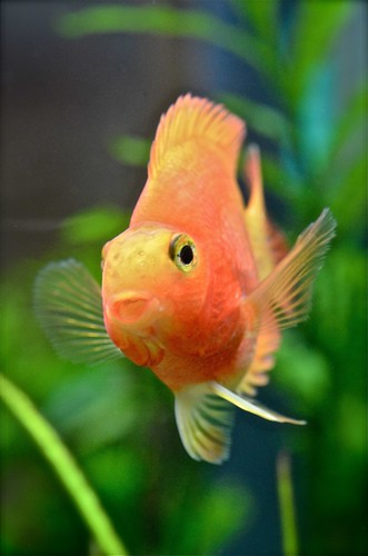 fish happy tank goldfish