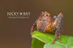 Lynx Spider (Oxyopidae) - IMG_5786 (nickybay) Tags: macro spider singapore lynx oxyopidae durianloop