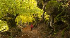 Entre seres de otro tiempo (elosoenpersona) Tags: parque autumn trees forest spain arboles camino asturias trail bosque otoo cordillera redes tarna cantabrica tabayon mongayu elosoenpersona
