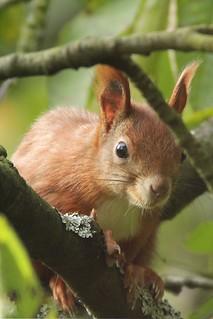Eichhörnchen, NGIDn1532632110
