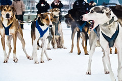 A Dog's Breathe(2012) (VRileyV) Tags: winter december nwt breathe yellowknife sleddogs dogsled beckskennels