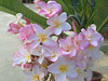 Plumeria Frangipane (Luciano ROMEO) Tags: verde frangipane plumeria fiori petali pomelia pianteinvaso