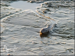 Mudskipper (Bo_Ya3GooB) Tags: kuwait mudskipper كويت الطين نطاط