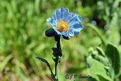 REFORD GARDENS   |      EMBLEM  |   |     BLUE POPPY   |  PAVOT BLEU          |     REFORD GARDENS  |      LES JARDINS DE METIS  |  METIS   |  GASPESIE  |  QUEBEC  |  CANADA (J.P. Gosselin) Tags: blue canada gardens les canon de eos rebel quebec mark bleu ii 7d poppy canoneos jardins metis gaspesie markii pavot reford t2i geo:country=canada eos7d canoneos7d canon7d canoneosrebelt2i 7dmarkii geo:region=quebec ph:camera=canon canon7dmarkii