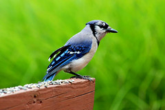 Strength (ninelittlebirds) Tags: blue summer bird birds wings jay gorgeous fear feathers vivid bluejay strong strength